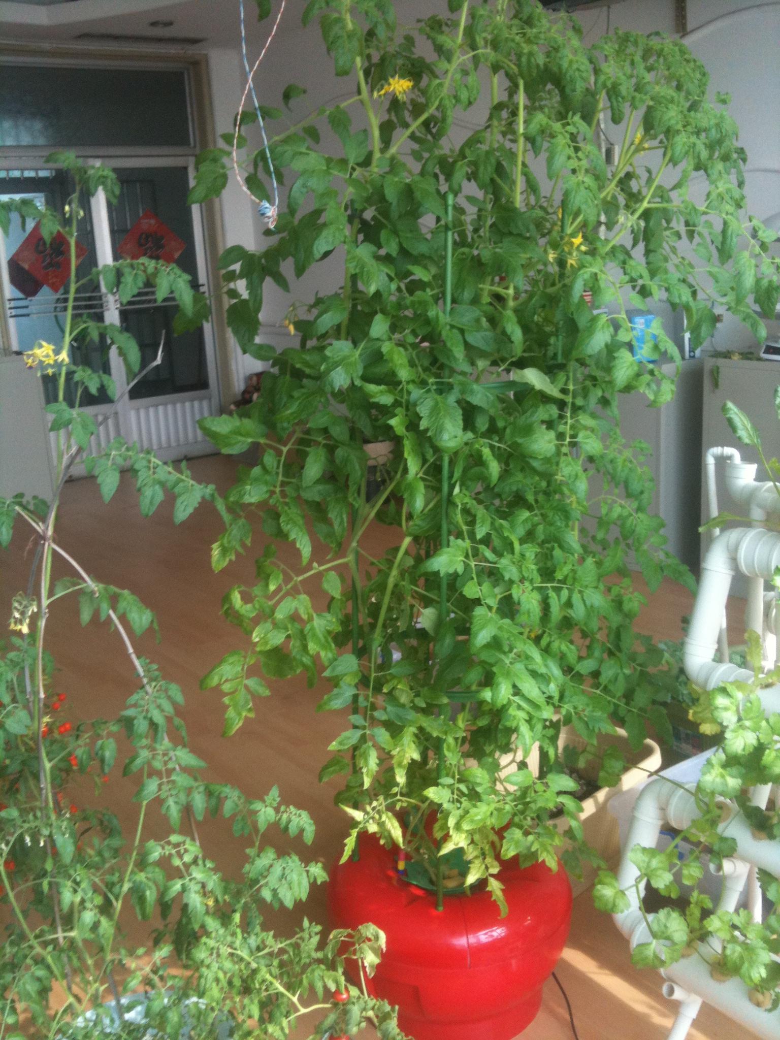 家庭自种自食的水培蔬菜