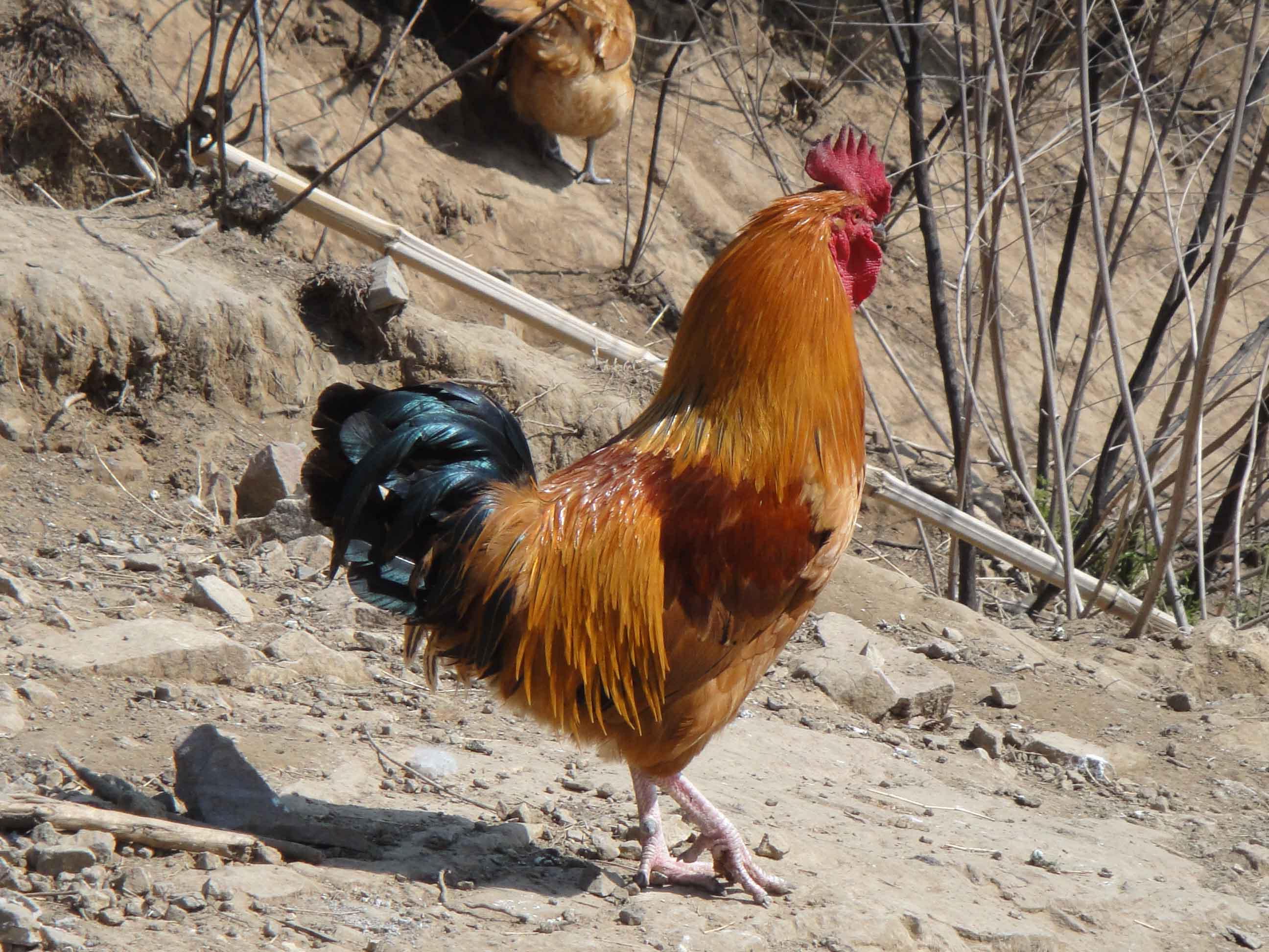 纯正山鸡,山鸡蛋,老母鸡,全粮食喂养,上图大家可以看看。不相信的可以亲自来农场采拾,绝对纯正。 也可送货上门(淄川城区内都可以)绝不会短斤少两,可以自带小称。。。 地址:淄川经济开发区双泉村, 手机:13853351289 座机号码:0533-5168886 鸡蛋12元一斤,满10斤送一斤,因为鸡蛋会随着节日,价格有所变动,时高时低,所以我家统一定价12元一斤, 价格长期不变。可能顾客觉得12元比起超市的要便宜很多,所以不放心,其实超市很多山鸡蛋都是假的, 包装好看是真的,而且价格绝对要翻很多倍,也不够新