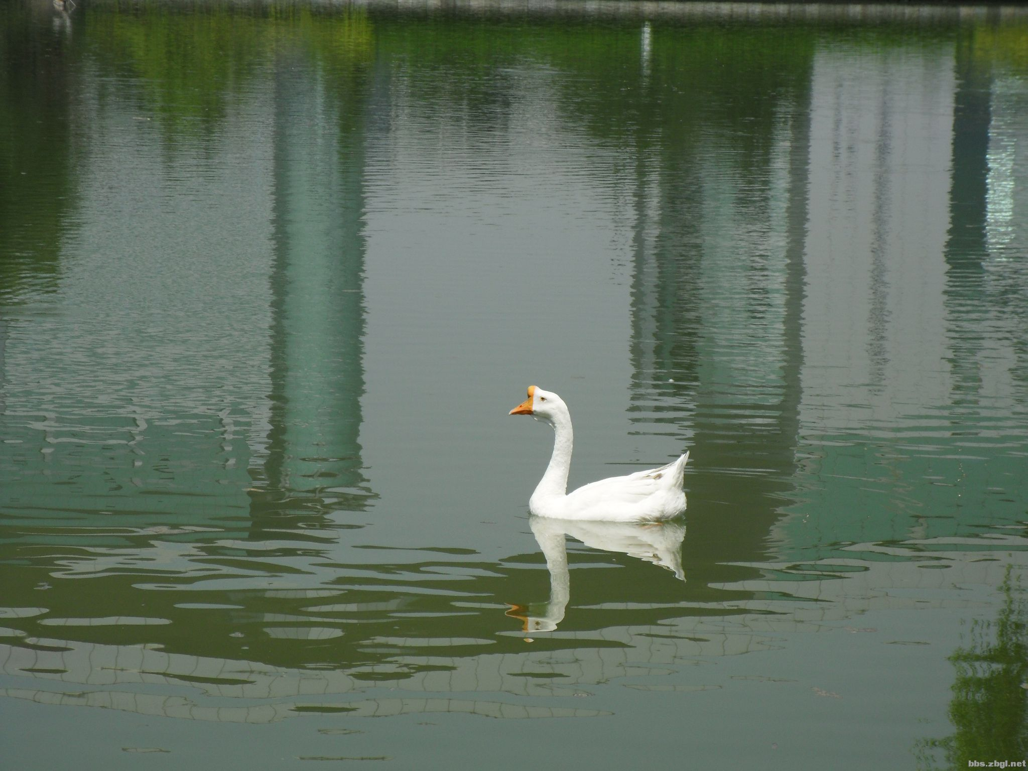 福快乐的小白鹅