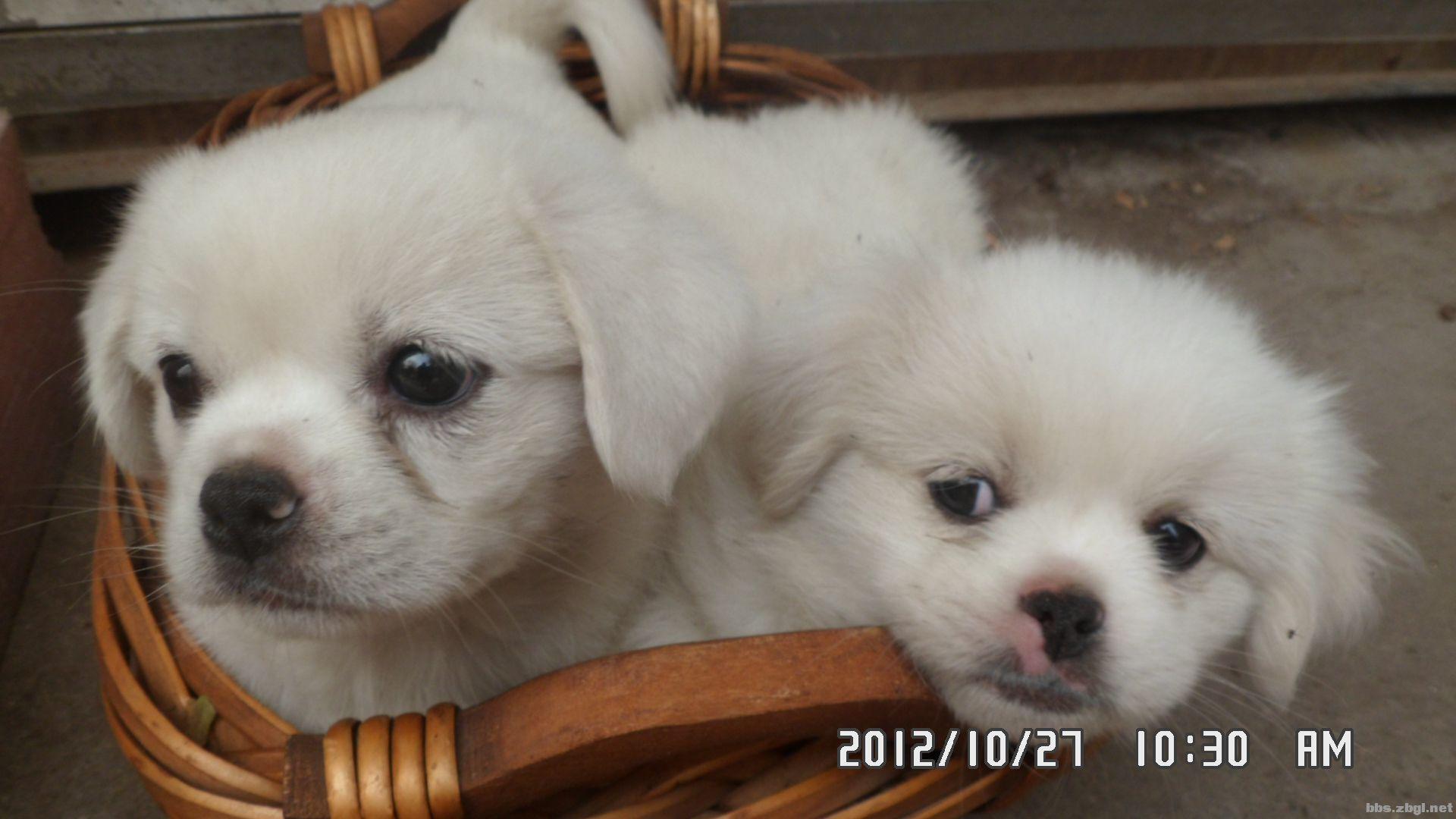 家养纯白色小狗狗找新主人
