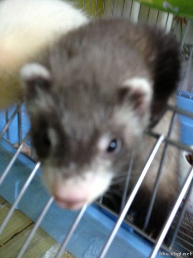 更新照片出安格鲁宠物貂 现买安格鲁宠物貂一只,送高级貂笼一个