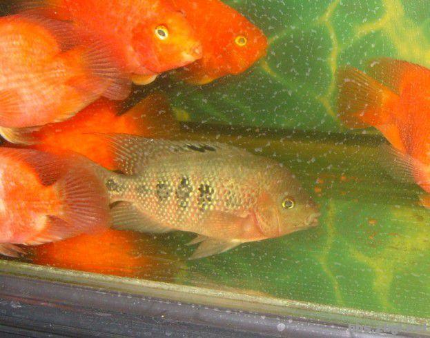 50元卖 红马罗汉鱼 母鱼图片