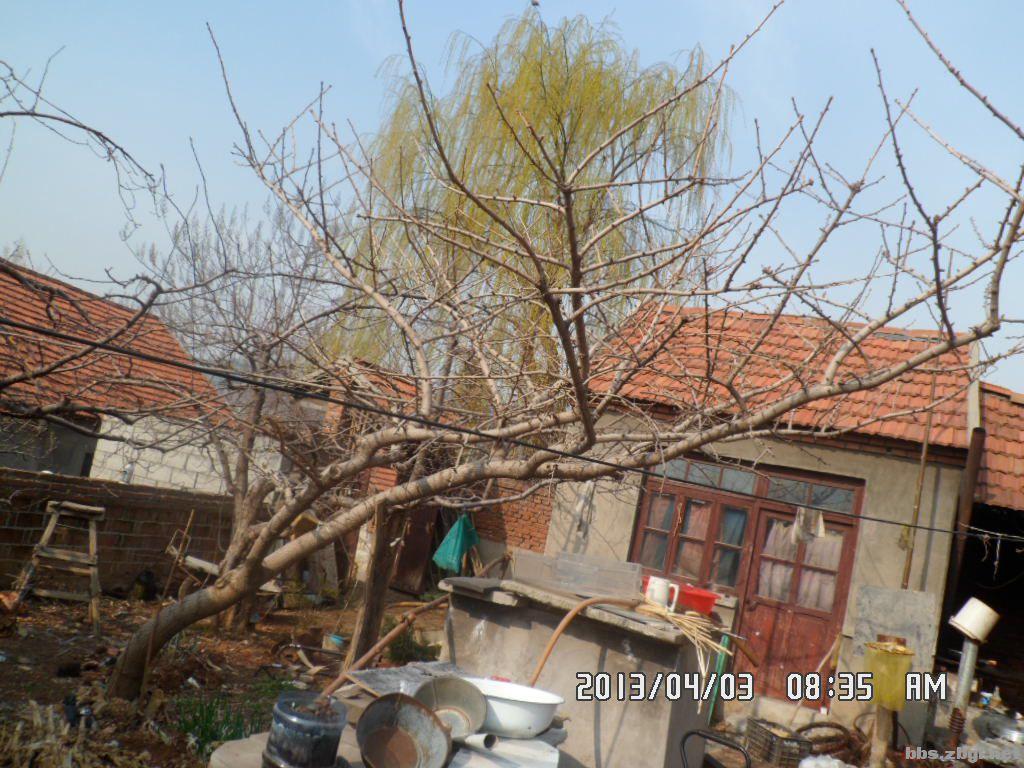 家里的银杏树和柳树忍痛转让