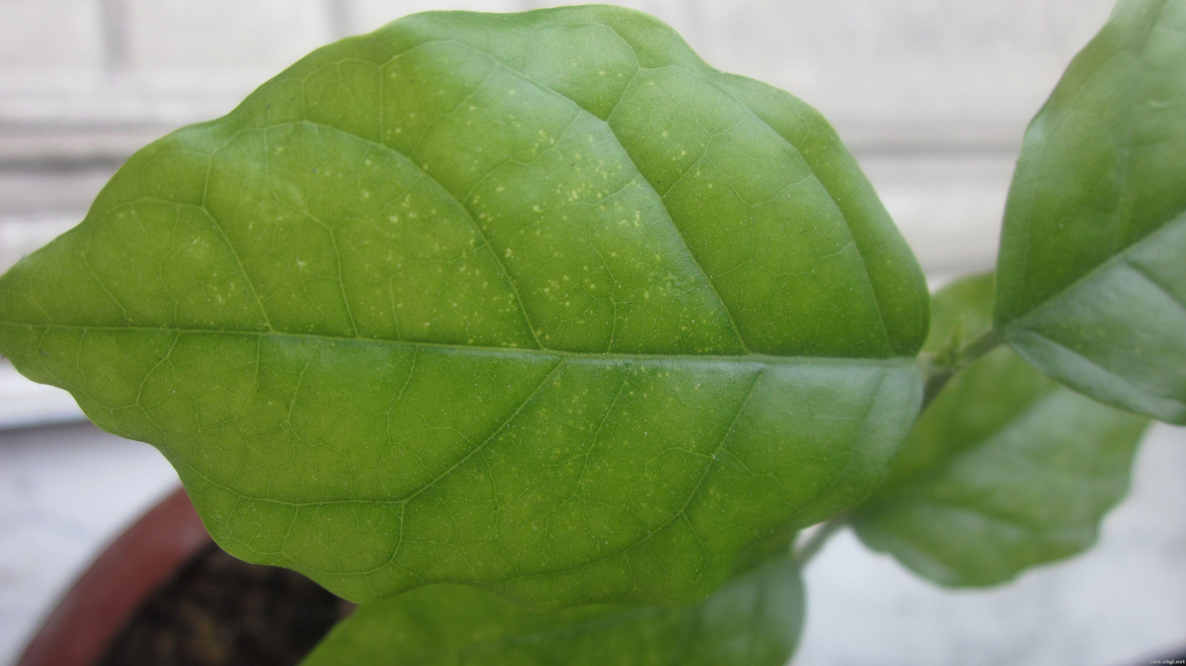 发财树叶子有白斑