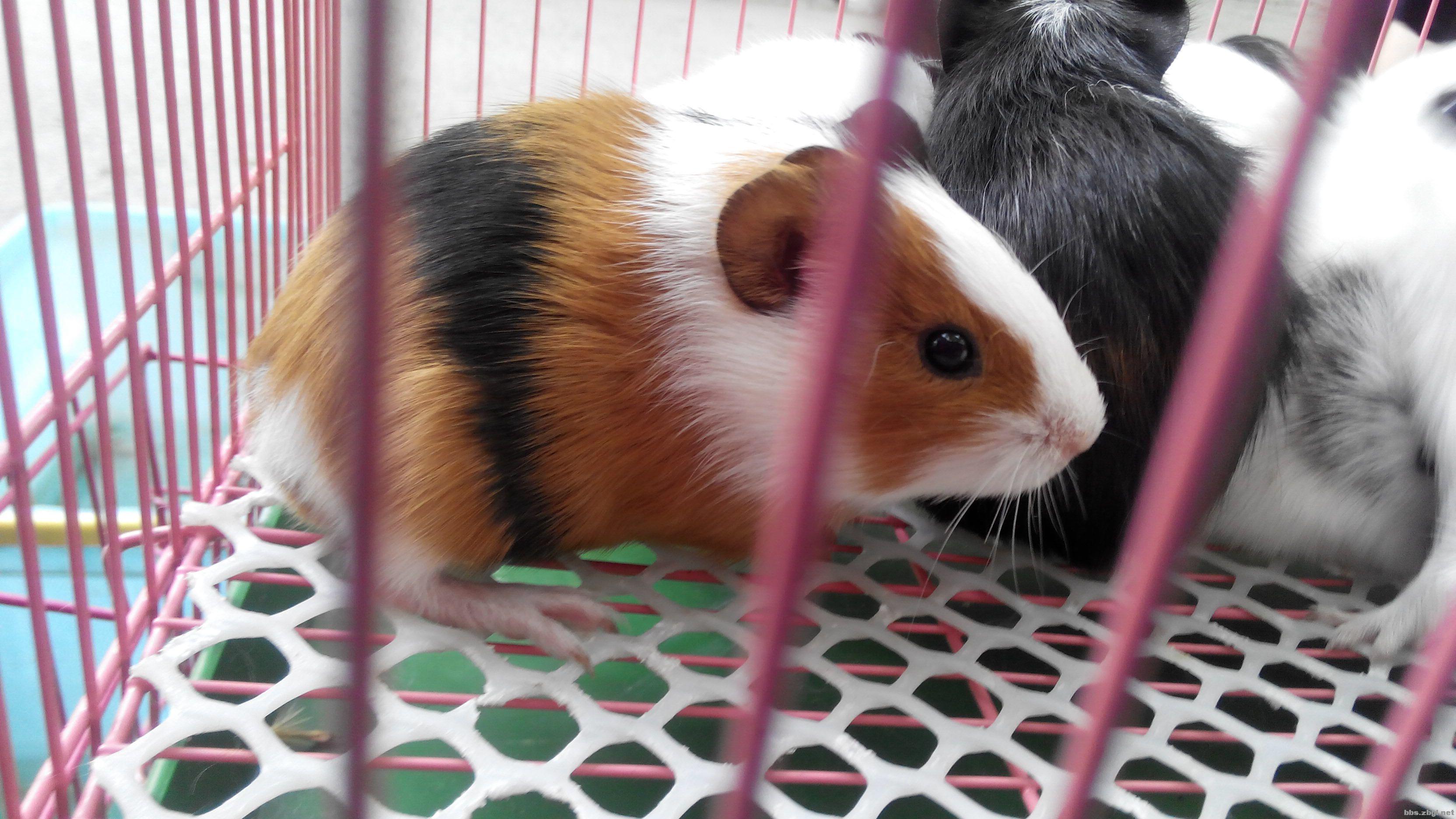 超可爱的泰国小香猪