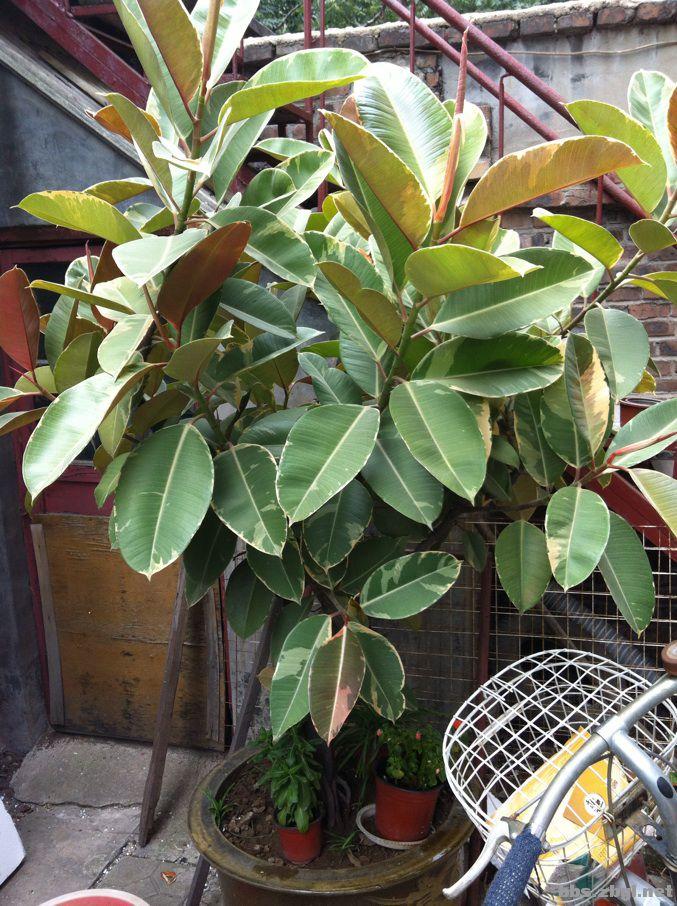 出售家养20年的花叶橡皮树(又名彩叶橡皮树)一盆