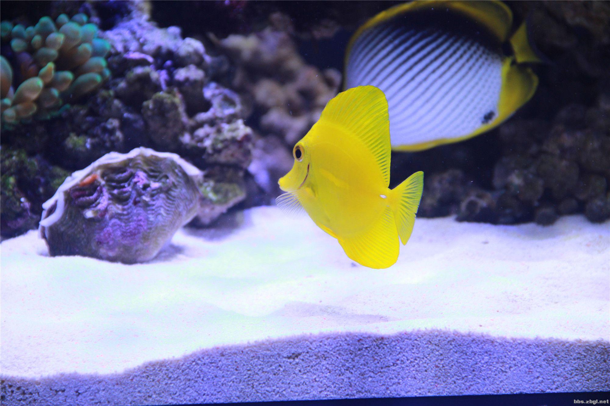 海水缸新进生物,黄金吊,蓝吊,黑背鲽,诚交淄博海水鱼友