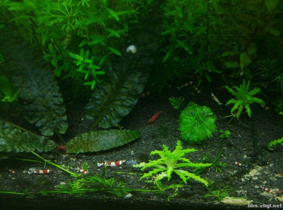 纯血水晶虾缸 高清图片