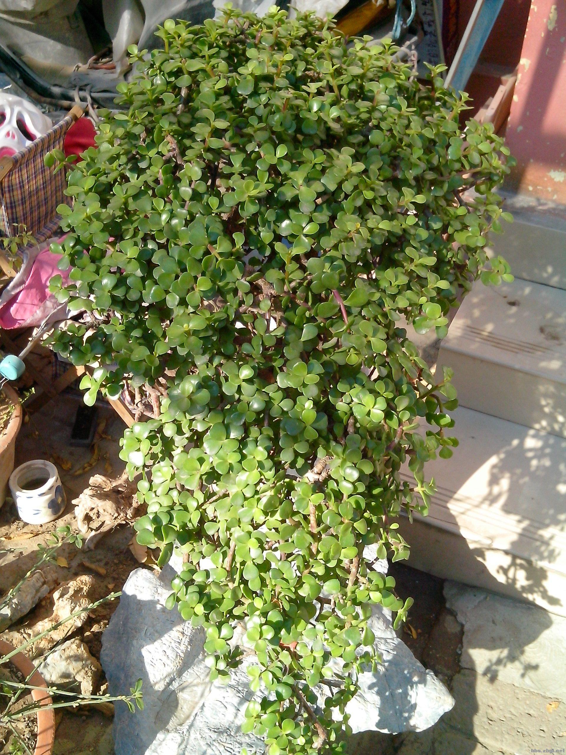 金枝玉叶盆景鸟语花香.我的金枝玉叶开花了养花吧.这个植物