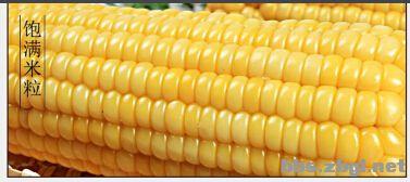 我的最爱-香甜粘糯皮薄无渣@天景有机玉米-绝对非转基因图片