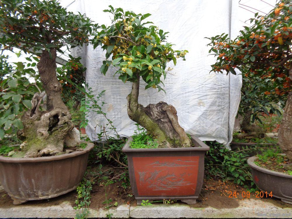 盆栽桂花的養護.管理.嫁接.修剪【轉】