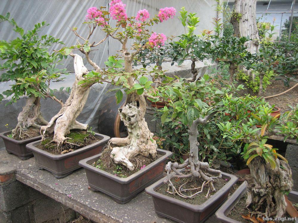 盆栽桂花的养护.管理.嫁接.修剪【转】