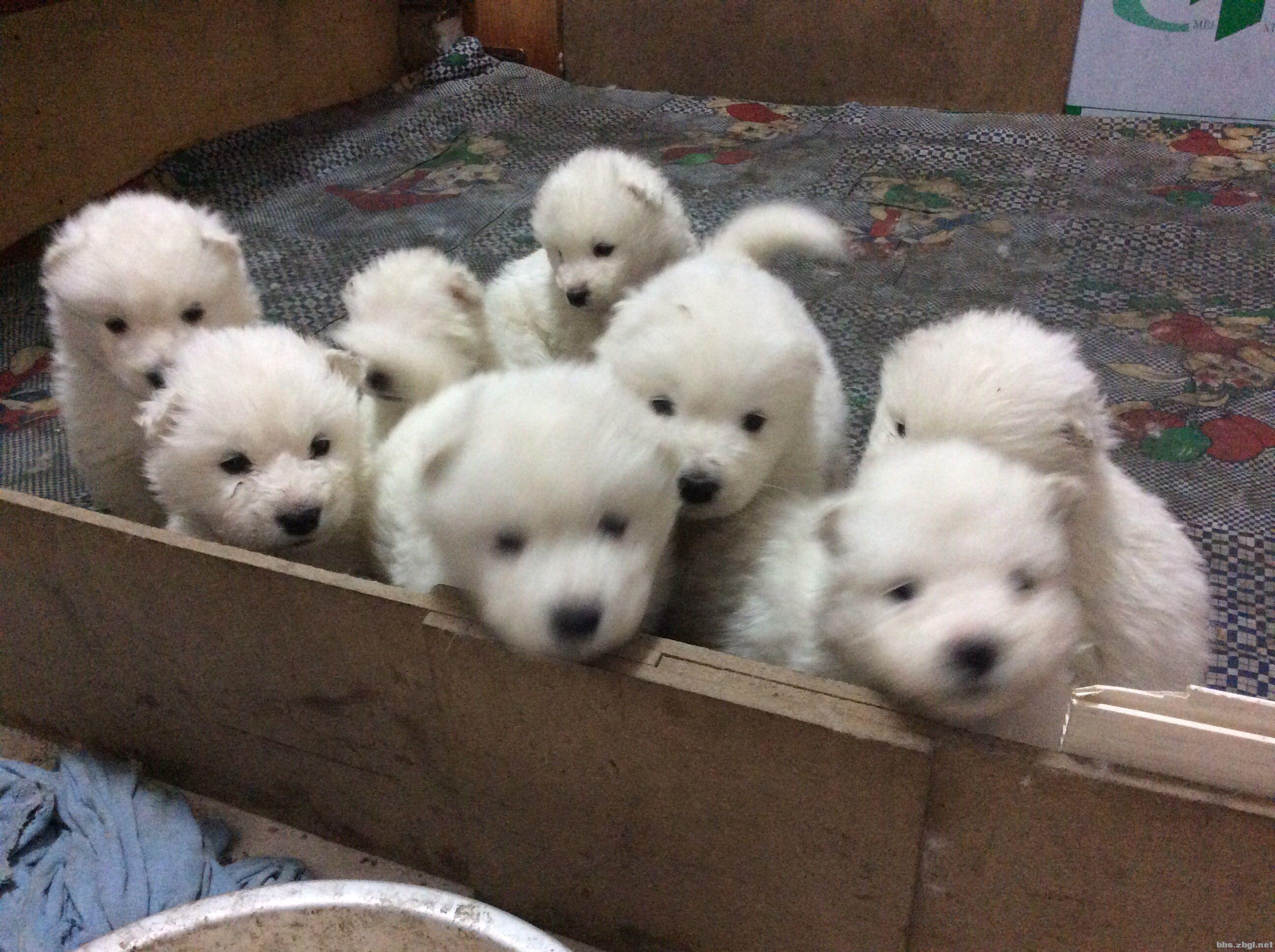 萨摩狗狗出售,很可爱哦