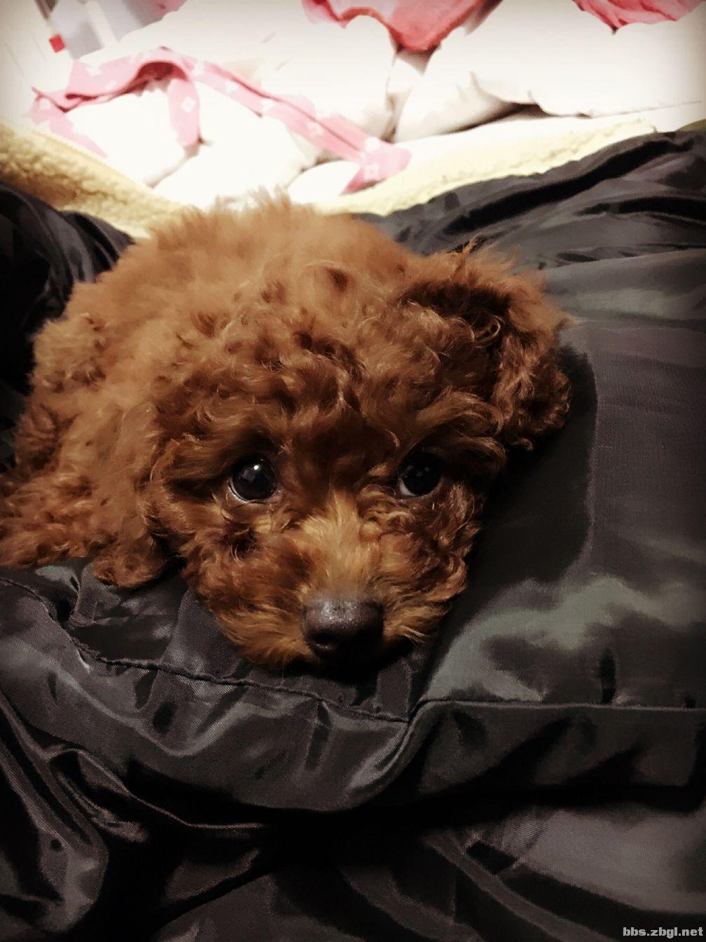 自家棕红色泰迪狗出售~漂亮可爱体型小