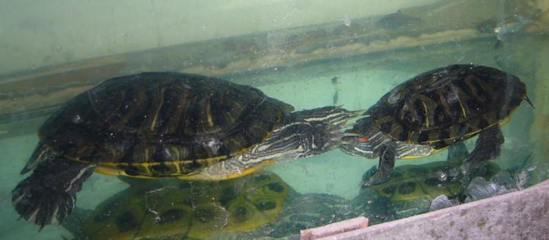 俺家的两只乌龟为什么不冬眠老在一起亲嘴啊 有图有真相