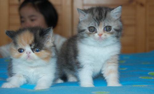 特价出售纯种加菲猫--售完---封贴! - 家有萌宠
