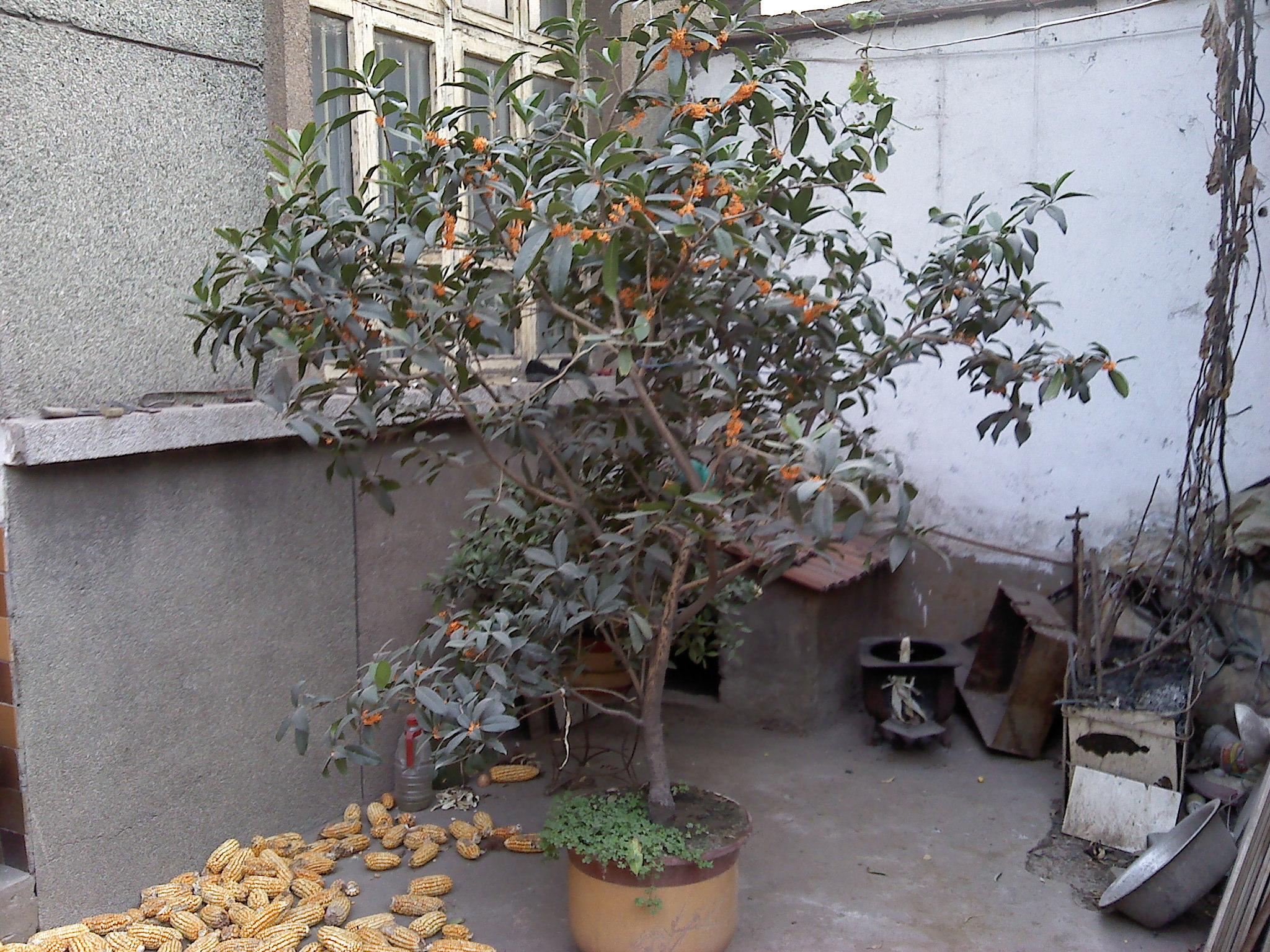有养了35年的金桂花榕树盆景等